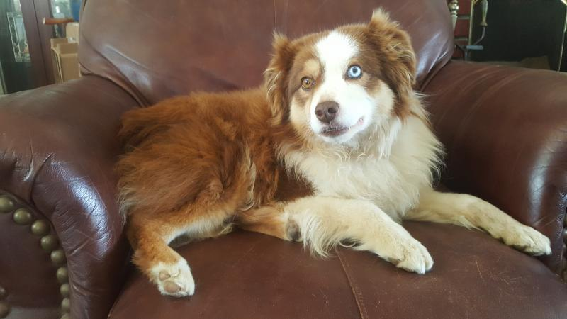 Lorie Payfer - Miniature Australian Shepherds Studs available for ...